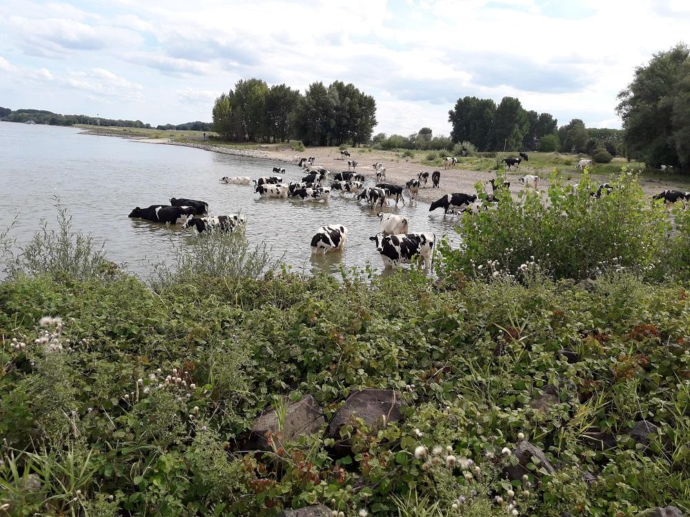 Kühe bei 30 Grad kühlen sich ab