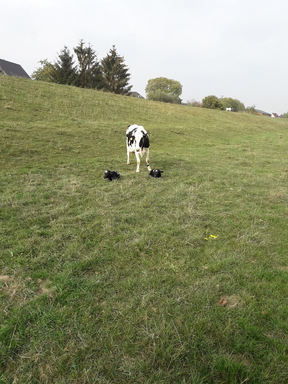 schöne Zwillinge...glückliche  Kuh und erfreuter Bauer