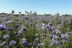 Blühmischung-Phacelia